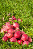 Red ripe apples on green grass Stock Photo