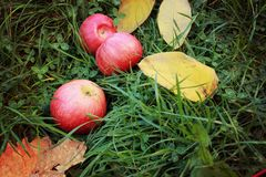 Red ripe apples on green grass, ripe fruits and yellow autumn leaves. Seasons and nature, fruits useful, healthy food, bright colors of autumn, photo for stock photography