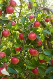 Red ripe apples growing in the garden royalty free stock photos