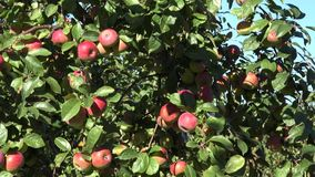 Red ripe apples grows on branch green foliage against blue sky. Tilt down. 4K. Red ripe apples grows on a branch among the green foliage against a blue sky. Tilt stock footage
