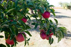 Apple harvest time. Red ripe apples hanging on a tree at a cider mill Royalty Free Stock Image