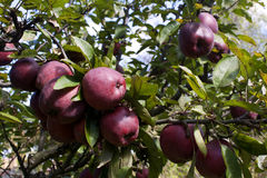 Red ripe apples on the tree Royalty Free Stock Photos