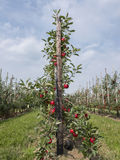 Red ripe apples on tree in dutch orchard in holland Stock Photo