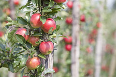 Red ripe apples on tree in dutch orchard in holland Stock Photography