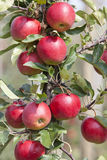 Red ripe apples on tree in dutch orchard in holland Royalty Free Stock Photo