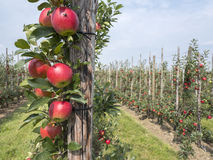 Red ripe apples on tree in dutch orchard in holland Royalty Free Stock Image