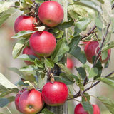 Red ripe apples on tree in dutch orchard in holland Royalty Free Stock Photos