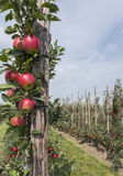 Red ripe apples on tree in dutch orchard in holland Stock Image