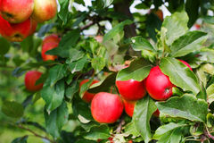 Red ripe apples on tree in orchard. Royalty Free Stock Images