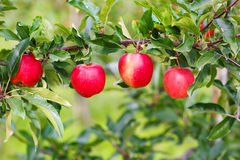 Red ripe apples on tree in orchard. Stock Photo