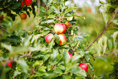 Red ripe apples on tree in orchard. Stock Photography