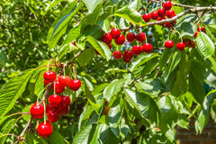 Red ripe berries cherries on a branch, close-up Stock Image