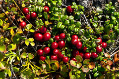 Red, ripe berries a cowberry Royalty Free Stock Image