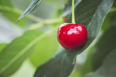 Red ripe berry of cherry on background of green leaves_ royalty free stock photo