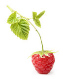 Red ripe berry raspberry isolated Royalty Free Stock Photography