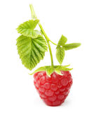 Red ripe berry raspberry isolated Royalty Free Stock Image
