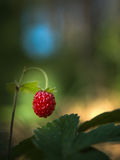 Red ripe berry of strawberry stock image
