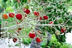 Red ripe betel nut palm fruit Stock Photo