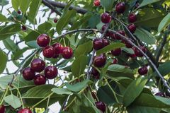Ripe cherries on the branches Royalty Free Stock Image