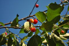 Red ripe cherry berries on branch with green leaves, blue sky. Background royalty free stock image