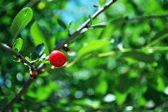 Red ripe cherry berries on branch with green leaves. Blurry green-blue background stock images