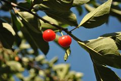 Red ripe cherry berries on branch with green leaves, close up detail, sky background. Red ripe cherry berries on branch with green leaves, close up detail, blue royalty free stock images
