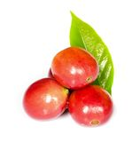 Red ripe coffee beans. Royalty Free Stock Photo