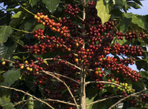 Red ripe coffee on the tree. The red ripe coffee beans on the branches, famous coffee in Vietnam, the world`s leading export only after Brazil, many famous Royalty Free Stock Photo