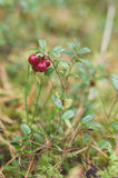 Red ripe cowberries (Vaccinium vitis-idaea). On the branch Stock Photo