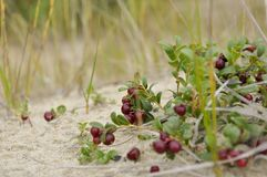 Red ripe cowberry grow on the sand in the green forest Stock Photo