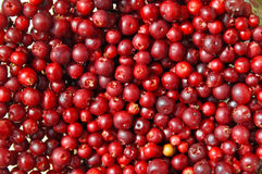 Red ripe cranberries Stock Image