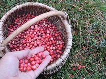 Red ripe cranberries in wicker Royalty Free Stock Images