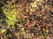 Red ripe cranberry on moss Royalty Free Stock Image
