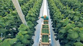 Ripe cucumbers are being collected by a greenhouse worker. Healthy eco products concept.