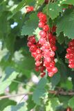 A red ripe currant on the green leaves background at the sunny day. Berries in the summer garden royalty free stock photo