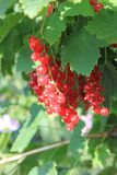 A red ripe currant on the green leaves background at the sunny day. Berries on the bush in the summer garden stock photos