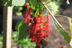 A red ripe currant at the sunny day. Berries in the summer garden. Closeup stock image