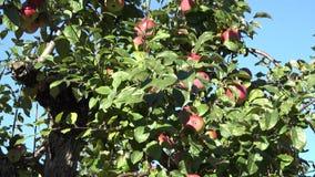 Red ripe fresh apple fruit on tree in garden at autumn time. 4K. Tilt up of red ripe fresh apple fruit on tree in garden at autumn time. 4K UHD video clip stock video