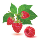 Red ripe fresh raspberries on a branch Stock Photography