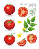 Red ripe fresh tomatoes. Vector illustration. Red ripe fresh realistic tomatoes with leaves, blossom and dill  on white background Royalty Free Stock Photo