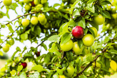 Red ripe fruit of a plum. Stock Photos