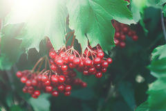 Red ripe fruits on guelder rose tree closeup in garden Stock Images