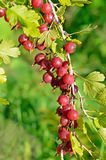 Red ripe gooseberries on branch Royalty Free Stock Photography