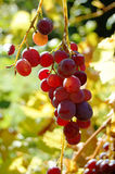 Red ripe grape under the sun Royalty Free Stock Photos