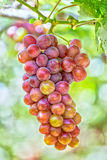 Red ripe grapes in the garden. Red ripe grapes in garden with clusters associated plump sleek, this material used to make red wine business in Ninh Thuan Stock Photography