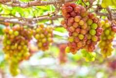 Red ripe grapes in garden Stock Images