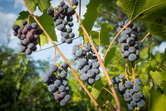 Red ripe grapes hanging from a branch Stock Images