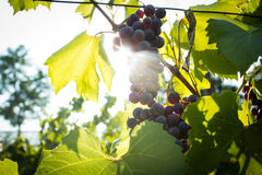 Red ripe grapes hanging from a branch Royalty Free Stock Images