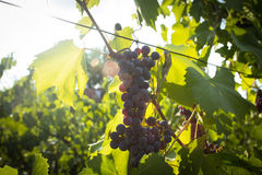 Red ripe grapes hanging from a branch Stock Image