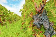 Red ripe grapes in vineyard Royalty Free Stock Photo